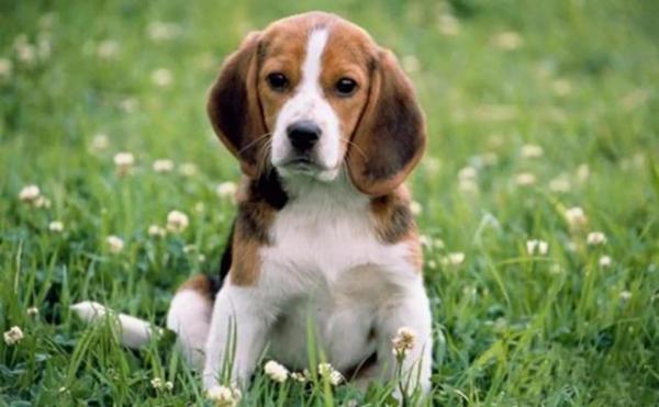对狗狗最具危害的疾病之二——犬细小病毒